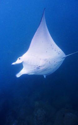 Manta Ray On Our West Oahu Snorkeling Tour