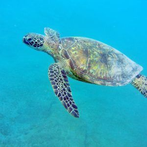 sea-turtle-west-oahu